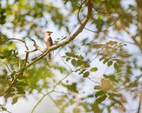 Spotted Flycatcher. A spotted Flycatcher - Muscicapa striata neumanni - perching in the canopy of the Arabuko Sokoke Forest, last remaining coastal forest of the Stock Photos