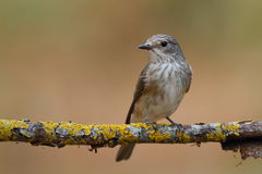 The spotted flycatcher (Muscicapa striata) seating on a branch Stock Photo
