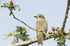 Spotted flycatcher / Muscicapa striata Royalty Free Stock Image