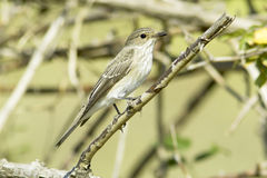 Spotted flycatcher / Muscicapa striata Stock Image