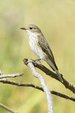 Spotted flycatcher / Muscicapa striata Stock Photography