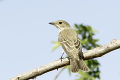 Spotted flycatcher / Muscicapa striata Royalty Free Stock Photography