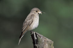Spotted flycatcher,  Muscicapa striata Royalty Free Stock Photos