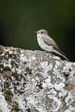 Spotted flycatcher, Muscicapa striata, Stock Photos
