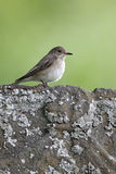 Spotted flycatcher, Muscicapa striata, Royalty Free Stock Images