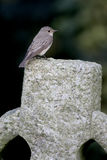 Spotted flycatcher, Muscicapa striata Royalty Free Stock Image