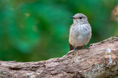 Spotted Flycatcher Stock Image