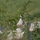 Spotted Flycatcher (Muscicapa striata) on top of a rock Royalty Free Stock Images