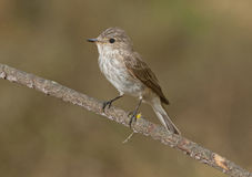 Spotted flycatcher (Muscicapa striata) Royalty Free Stock Photography