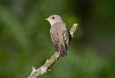 Spotted flycatcher (Muscicapa striata) Stock Photo