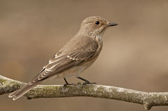 Spotted flycatcher (Muscicapa striata) Stock Images