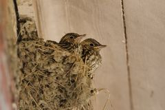 Spotted flycatcher nest