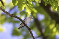 Spotted Flycatcher in oak tree crown Royalty Free Stock Photos