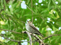 Spotted flycatcher on a perch Royalty Free Stock Photos