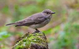 Spotted Flycatcher posing on a mossy branch in forest royalty free stock photos