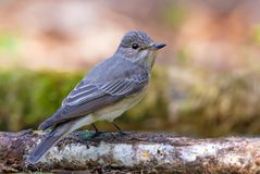 Spotted Flycatcher sits on aged stick back view royalty free stock image