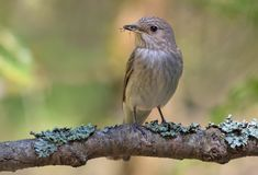 Spotted Flycatcher perched on a thick lichen covered branch in sweet light royalty free stock photo