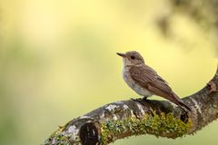 A Spotted flycatcher perched up close royalty free stock photography