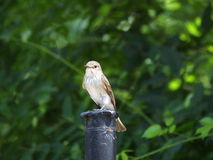 Spotted Flycatcher perching Stock Photos