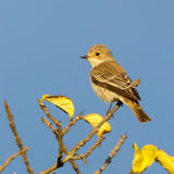 Spotted Flycatcher. A Spotted Flycatcher, photographed in Kenya's Nairobi National Park Royalty Free Stock Images