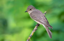 Spotted flycatcher posing on a tiny lichen branch royalty free stock photography