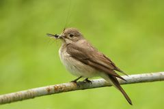 Spotted flycatcher with pray Stock Photos