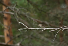 Spotted Flycatcher with prey Royalty Free Stock Photo