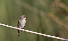 Spotted Flycatcher on a Reed Looking Right Stock Photos