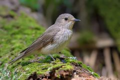 Spotted Flycatcher sits on a green mossy trunk stock photo