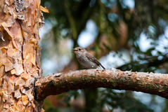 Spotted flycatcher. Sitting on a branch of pine in forrest Stock Images