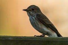 Spotted flycatcher Royalty Free Stock Photography