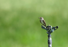 Spotted Flycatcher. The Spotted Flycatcher is a small passerine bird in the Old World flycatcher Stock Photo
