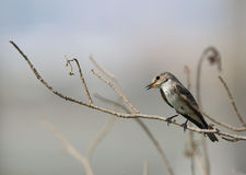 Spotted Flycatcher. The Spotted Flycatcher is a small passerine bird in Old World flycatcher family Stock Photo