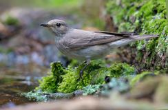 Spotted flycatcher in very wet and mossy shore near a water surface stock photo