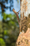 Spotted flying dragon. Close up of Spotted flying dragon or Orange-winged flying lizard (Draco maculatus) on the tree, flash fired Stock Photo
