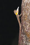 Spotted flying dragon. Close up of Spotted flying dragon or Orange-winged flying lizard (Draco maculatus) on the tree, stretching its gular fold, flash fired Stock Images