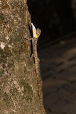 Spotted flying dragon or Orange-winged flying lizard with gular Royalty Free Stock Photo