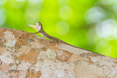 Spotted Flying Dragon. On tree, Found in South Thailand Royalty Free Stock Photos