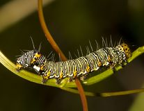 8 spotted Forester Moth Caterpillar. Photo I shot of the caterpillar in Central Florida while it was eating the plant outside at night Stock Photography