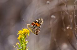 Spotted Fritillar butterfly Royalty Free Stock Photo