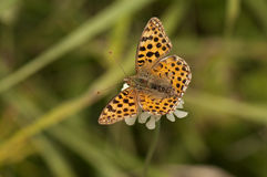 Spotted fritillary butterfly Stock Images