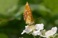 Spotted Fritillary  Red-band Fritillary on white flower Royalty Free Stock Image