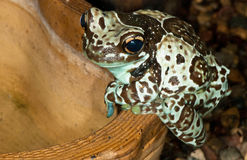 Spotted frog Royalty Free Stock Photos