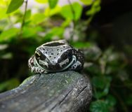 Spotty frog is dozing on a dry branch of a tree. The spotted frog is dozing on a dry tree branch in the aquarium royalty free stock photo