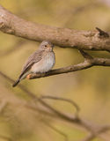 Spotted Fycatcher Royalty Free Stock Photos