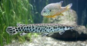 Spotted gar 1. Portrait of Spotted gar pike Royalty Free Stock Images