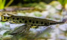 Spotted gar, a funny dart shaped fish with a needle nose, tropical fish from the mississippi river basin in America. A spotted gar, a funny dart shaped fish with royalty free stock photography