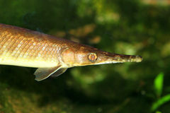 Spotted gar Royalty Free Stock Image
