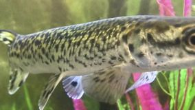 Spotted gar swimming in water stock video footage