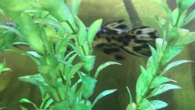Spotted gar swimming in water stock footage